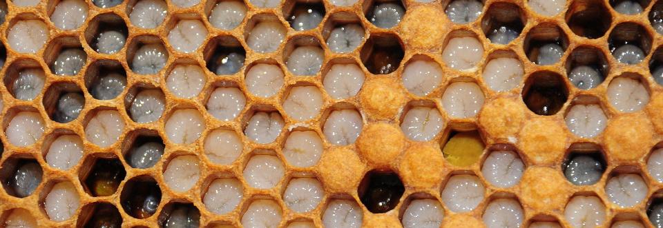 Gesunde Bienenbrut