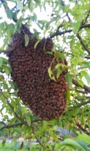 Schwarmtraube an einem Birnenbaum