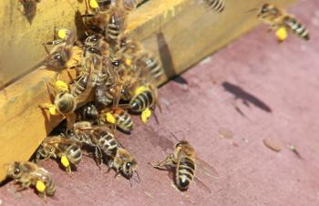 Bienen tragen Pollen ein