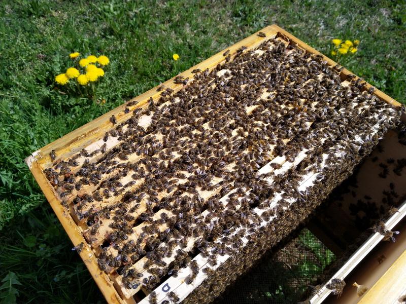 Dadantbeute mit gut entwickeltem Bienenvolk