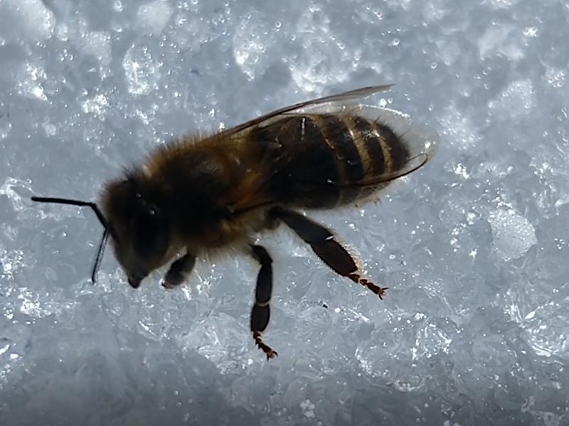 Biene trinkt Eiswasser