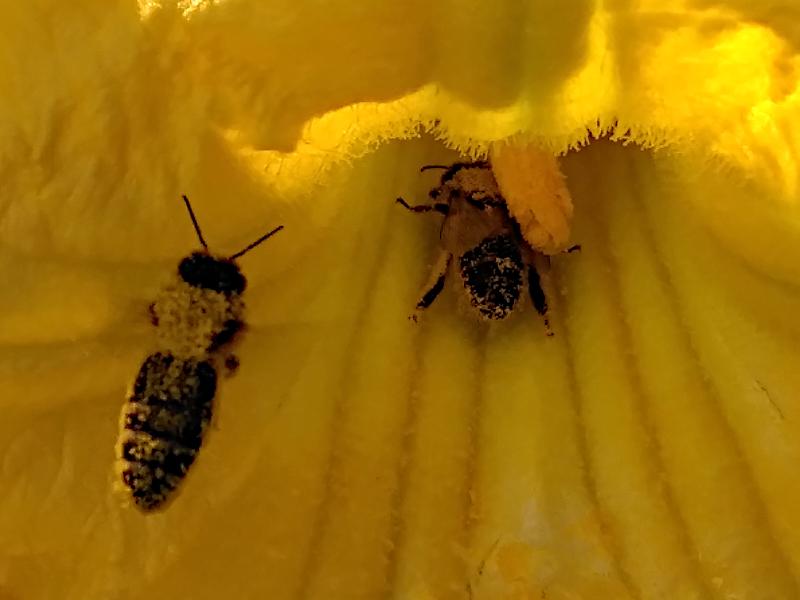 Biene auf Kürbisblüte